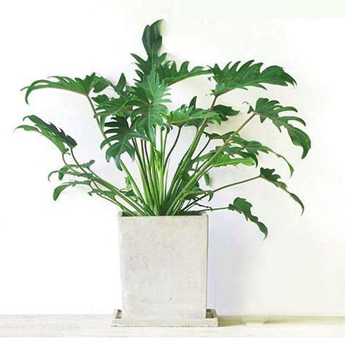 螺旋也门铁_产品展示/中型植物-重庆|加加绿|植物租赁|13368007772